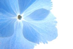 Blue hortensia Stock Images