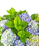 Blue hortensia. beautiful hydrangea on white Royalty Free Stock Photo