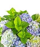 Blue hortensia. beautiful hydrangea on white Royalty Free Stock Photo