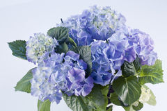 Blue hortensia Royalty Free Stock Image