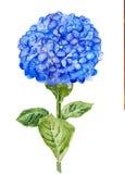 Blue Hortensia flower Stock Photo