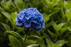 Blue hortensia flowerhead Royalty Free Stock Photo