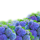 Blue hortensia flowers border Royalty Free Stock Images