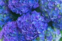 Blue hortensia flowers Stock Image
