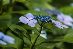 Blue hortensia flowers Royalty Free Stock Photos