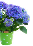 Blue hortensia flowers Stock Image