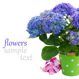 Blue hortensia flowers in green pot Stock Photo