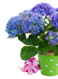 Blue hortensia flowers in green pot Royalty Free Stock Photography