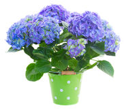 Blue hortensia flowers in green pot Royalty Free Stock Image