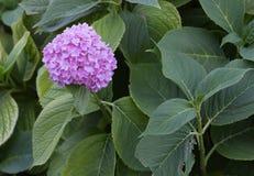 Blue hortensia flowers. Stock Photos