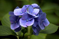 Blue hortensia hydrangea Royalty Free Stock Photo