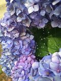 Blue Hortensia. Spider Web, rosée, dew, garden Royalty Free Stock Photos