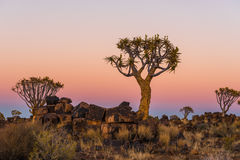 Blue hour becomes golden hour at quiver tree forest Royalty Free Stock Photography