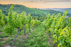 Blue hour in a vineyard Stock Image