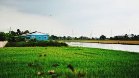 Blue house in the green field. Blue house in the green rice field Stock Photo