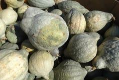 Blue Hubbard squash, Cucurbita maxima 'Blue Hubbard' Stock Photos
