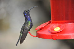Blue Humming Bird about to feed Stock Photos
