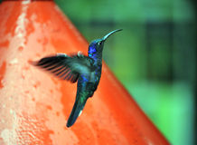 Blue Humming Bird about to feed. On an artificial feeder filled with oure nectar to attract them to the national park in Selvatura National Park, costa Rica royalty free stock images