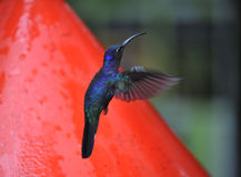 Blue Humming Bird about to feed Royalty Free Stock Photography