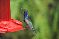 Blue Humming Bird about to feed Royalty Free Stock Photos