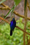 blue hummingbird iridescent perches violet Стоковая Фотография