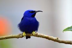 Blue hummingbird Royalty Free Stock Image