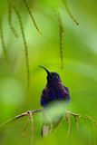 Blue hummingbird Violet Sabrewing in the green forest, garden in background, bird in the nature habitat, Panama Royalty Free Stock Photography