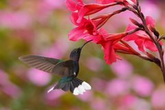 Blue hummingbird Violet Sabrewing near red bloom with pink background in Costa Rica Royalty Free Stock Images