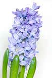 Blue hyacinth. In drops of water Royalty Free Stock Images