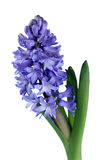 Blue hyacinth Royalty Free Stock Image