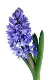 Blue hyacinth Royalty Free Stock Image