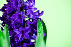 Blue hyacinth Royalty Free Stock Photography
