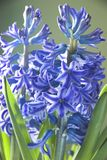 Blue Hyacinth. Blue flowers of Hyacinth plant against a green background Royalty Free Stock Photo