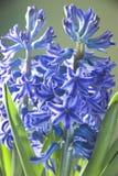 Blue Hyacinth Royalty Free Stock Photo