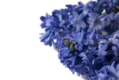 Blue hyacinth Stock Photos