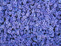Blue hyacinth Stock Image