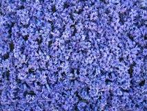 Blue hyacinth. Flower background wallpaper Stock Image