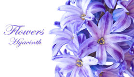Blue Hyacinth. Macro on white background with sample text Royalty Free Stock Images