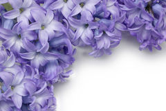 Blue Hyacinth Stock Photo
