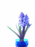 Blue hyacinth. Forced bulb in cracked blue glass vase Stock Image