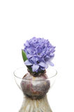 Blue hyacinth Royalty Free Stock Photos