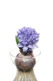 Blue hyacinth Royalty Free Stock Photos