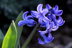 Blue Hyacinth. Hyacinth blooming on a dark background in the garden Royalty Free Stock Photos