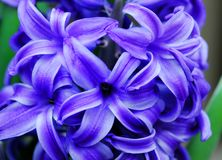 Blue Hyacinth Amethyst flower Stock Image