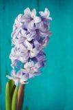 Blue hyacinth. On a blue background Stock Photography