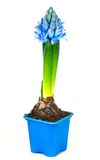 Blue hyacinth Stock Images