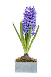 Blue hyacinth Royalty Free Stock Photo