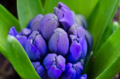 Blue Hyacinth Bud Close-up Royalty Free Stock Images