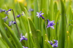 Blue hyacinth bunch outdoors Stock Image