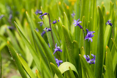 Blue hyacinth bunch outdoors Royalty Free Stock Image